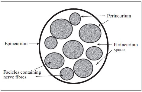 outer-epineurium